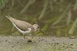 Juvenile Spotted Sandpiper foraging on a mud flat in mid-August on fall migration.