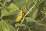 First fall male Canada Warbler in Japanese Knotweed in mid-August on fall migration.
