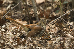 Brown Thrasher foraging on the ground in leaf litter in early April.