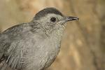 Gray Catbird with bill deformity.