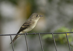 Juvenile Eastern Wood-Pewee in late September on fall migration. The Grassy Knoll, Central Park. New York, NY.