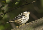 First fall female Black-and-white Warbler in mid-September on fall migration.
