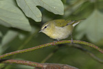 First fall Tennessee Warbler in mid-September on fall migration.