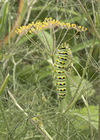 Black Swallowtail butterfly larva in late August.