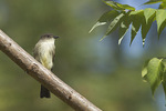 Eastern Phoebe in late September on fall migration.
