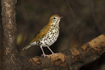 Wood Thrush in early October on fall migration.