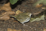 Ovenbird in mid-September on fall migration.