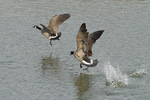 One Canada Goose chases another in mid-March.