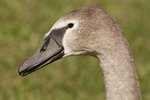 Close-up of Juvenile Mute Swan in late September.