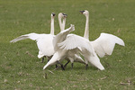 Group of Trumpeter Swans trumpeting in late February.