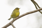 First fall male Cape May Warbler in mid-October on fall migration.