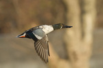 Male Northern Shoveler in flight in late November.