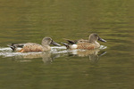 Male Northern Shovelers in mid-October.