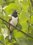 Male Eastern Towhee in mid-October on fall migration.