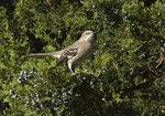 Northern Mockingbird foraging in Eastern Red Cedar (Juniperus virginiana) in mid-October.