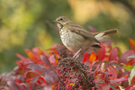 Hermit Thrush in Sumac in late October on fall migration.