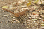 Brown Thrasher at the edge of a path in late October on fall migration.