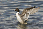 Male Northern Pintail flapping his wings.