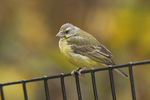Yellow-fronted Canary in late October.