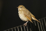 Hermit Thrush perched on fence in late October on fall migration.