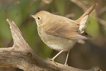 Hermit Thrush in late October on fall migration.