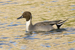 Male Northern Pintail in late October on fall migration.