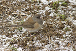First winter female Dark-eyed Junco,