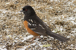 Adult male Spotted Towhee in late February.