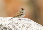 Chipping Sparrow in early November on fall migration.