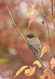 First fall Eastern Phoebe perched in Black Cherry in early November on fall migration.