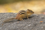 Eastern Chipmunk with bulging cheeks in early November.