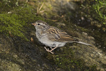 Juvenile Chipping Sparrow in late August.