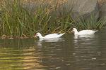 Muscovy Ducks in early November.