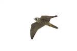 Juvenile Peregrine Falcon in flight.