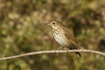 Hermit Thrush in mid-November on fall migration.
