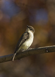 Eastern Phoebe in mid-November on fall migration.