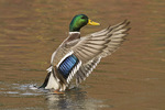 Male Mallard flapping his wings in mid-November.