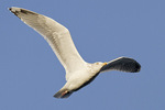 Herring Gull in flight in mid-November.