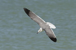 Second-winter Laughing Gull in flight in early March.