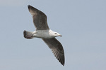 Second Cycle Great Black-backed Gull in flight in mid-April.