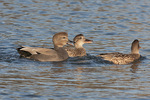 Displaying male Gadwall (Mareca strepera) tries to attract the attention of a female in early December.
