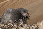 Rock Pigeon nestling in late August.