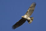 Juvenile Red-tailed Hawk in flight in late November.