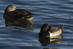 Adult male Ring-necked Duck in late eclipse plumage in late November.