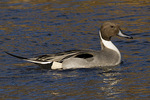 Male Northern Pintail in late November.