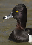 Adult male Ring-necked Duck in mid-March. CAPTIVE.