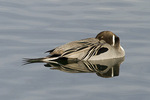 Adult male Northern Pintail resting in early December.