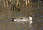 Adult male Northern Pintail in late November on fall migration.