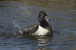 Adult male Ring-necked Duck bathing in late February.