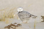 Immature female Snowy Owl in late November.